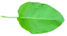 broadleaf dock leaf
