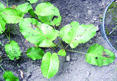 Broadleaf dock rosette