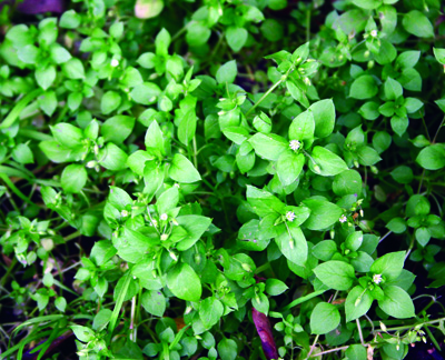 common chickweed foliage and flowers