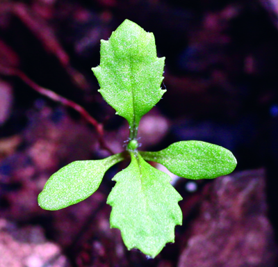 Common groundsel seedling
