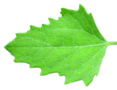 Common lambsquarters leaf
