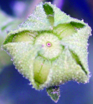 Common mallow fruit