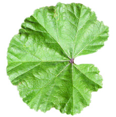 common mallow leaf