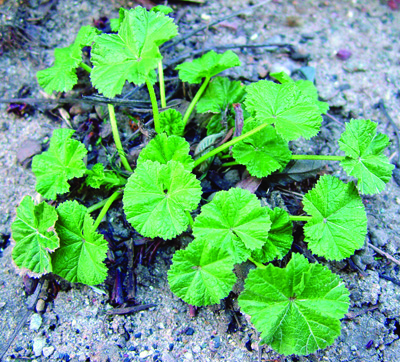 Common mallow plant