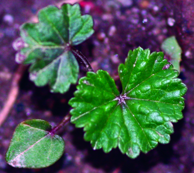 Common mallow seedling