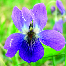 common blue violet flower