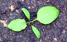 curly dock seedling