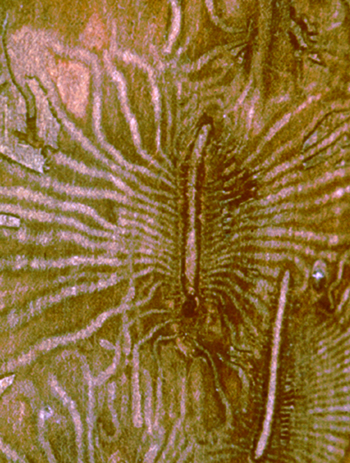 Dutch elm disease bark beetle