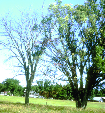 Dutch elm disease symptoms