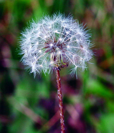 dandelion flower mature