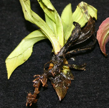 Digitalis thielaviopsis root rot symptoms