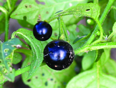 eastern black nightshade mature berries