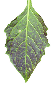 Eastern black nightshade leaf underside