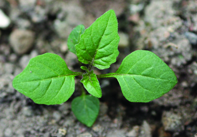 young eastern black nightshade plant