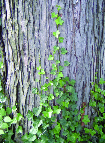 English ivy tree