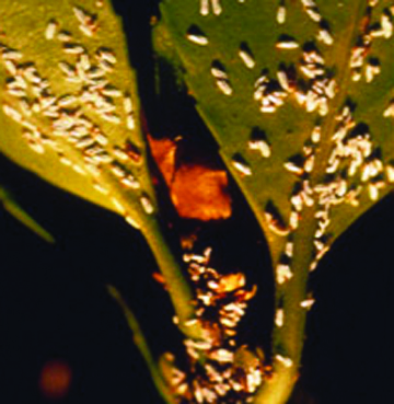 Euonymus scale mature male