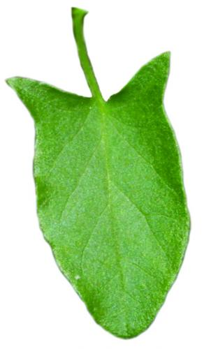 field bindweed leaf