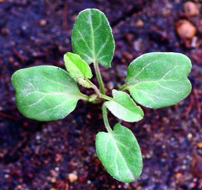 field bindweed seedling