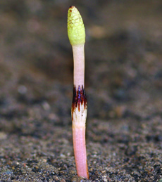 Field horsetail stalk