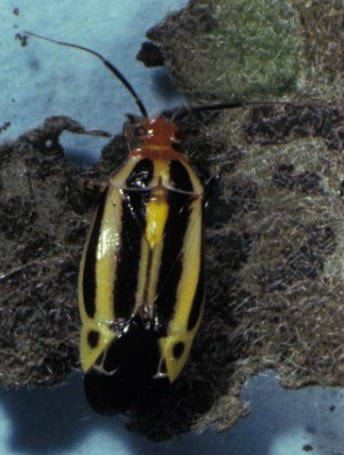Four-lined plant bug adults