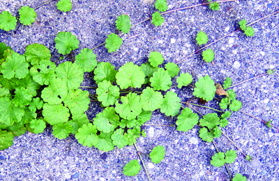 Ground ivy stolons