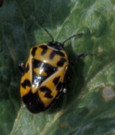Harlequin bug - Integrated Pest Management