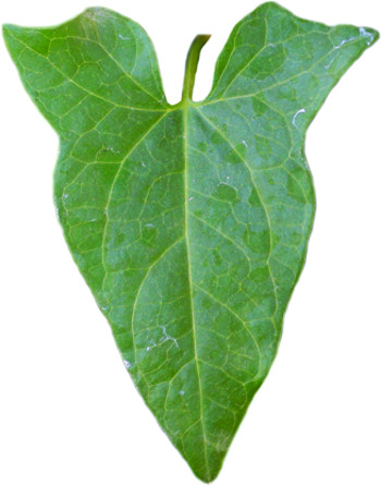 hedge bindweed leaf