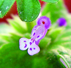 close-up of henbit flower