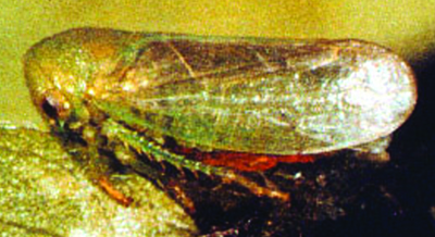 honeylocust leafhopper