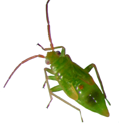 Honeylocust plant bug