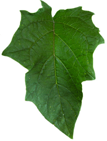 Jimsonweed leaf
