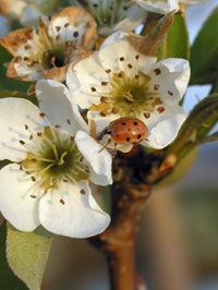 Asian lady beetle on pear tree