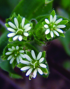 mouseear chickweed flowers