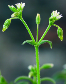 mouseear chickweed flowers and fruit