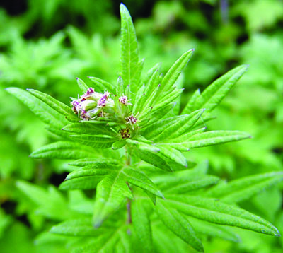 mugwort flower