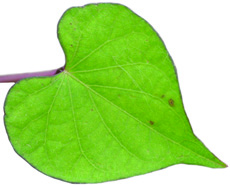 pitted morningglory leaf