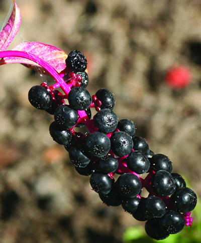 pokeweed fruit