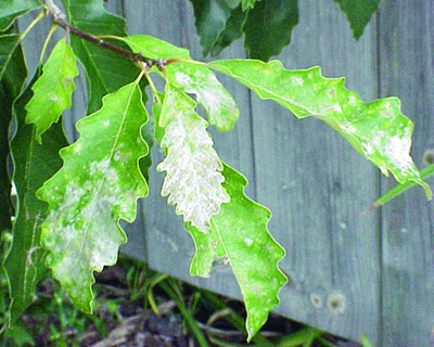 Powdery mildew oak