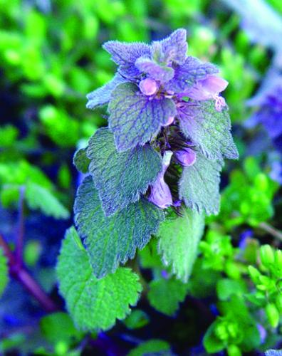 purple foliage and flowers of purple deadnettle