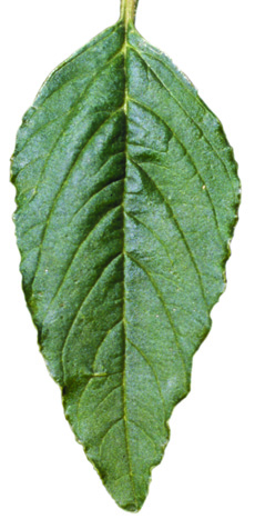 redroot pigweed leaf