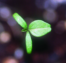 redroot pigweed seedling