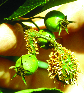 Quince rust