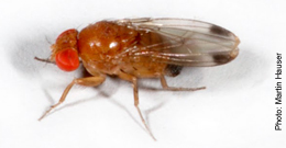 Male Spotted Wing Drosophila