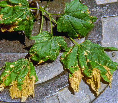 Shade anthracnose maple
