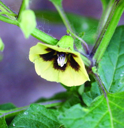 smooth groundcherry flower