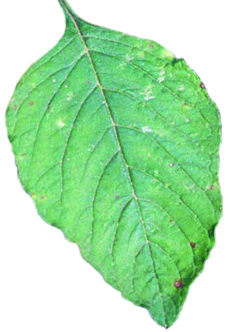 smooth pigweed leaf