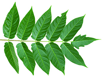 Tree-of-Heaven leaf
