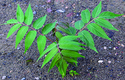 Tree-of-Heaven sapling