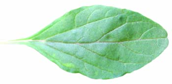 tumble pigweed leaf