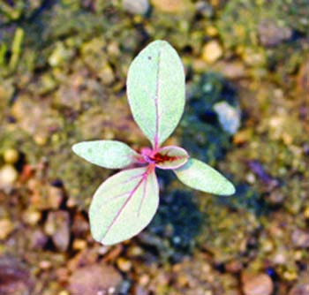 tumble pigweed seedling